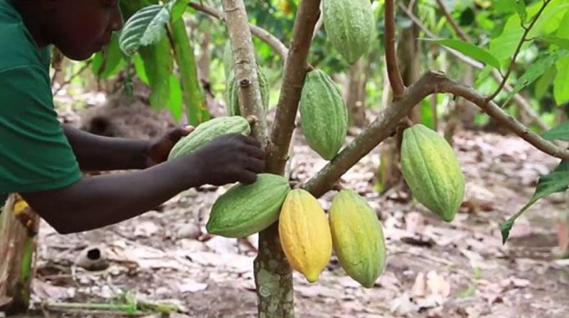 Ogun warns against deforestation, creates cocoa reserves