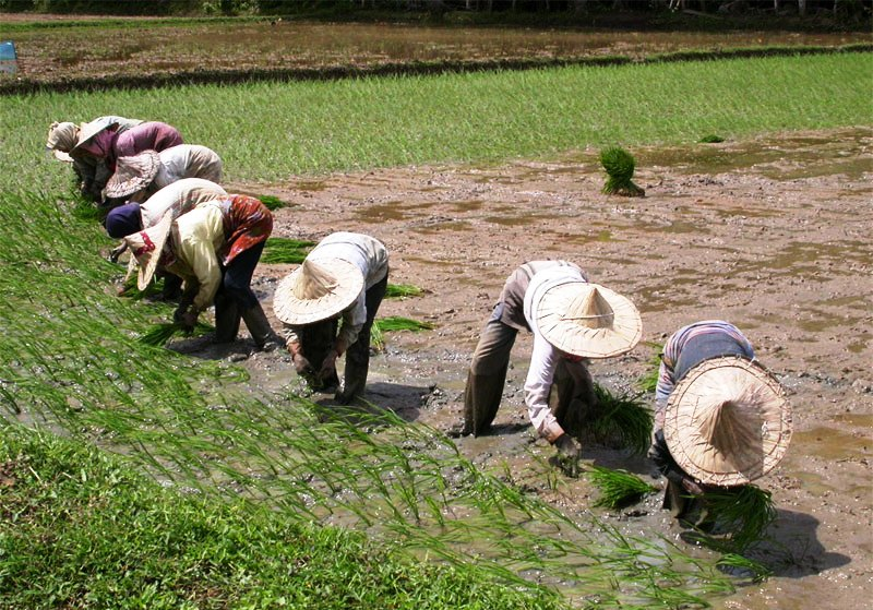 Cheap, affordable rice to flood Nigerian markets by 2017 – Farmers